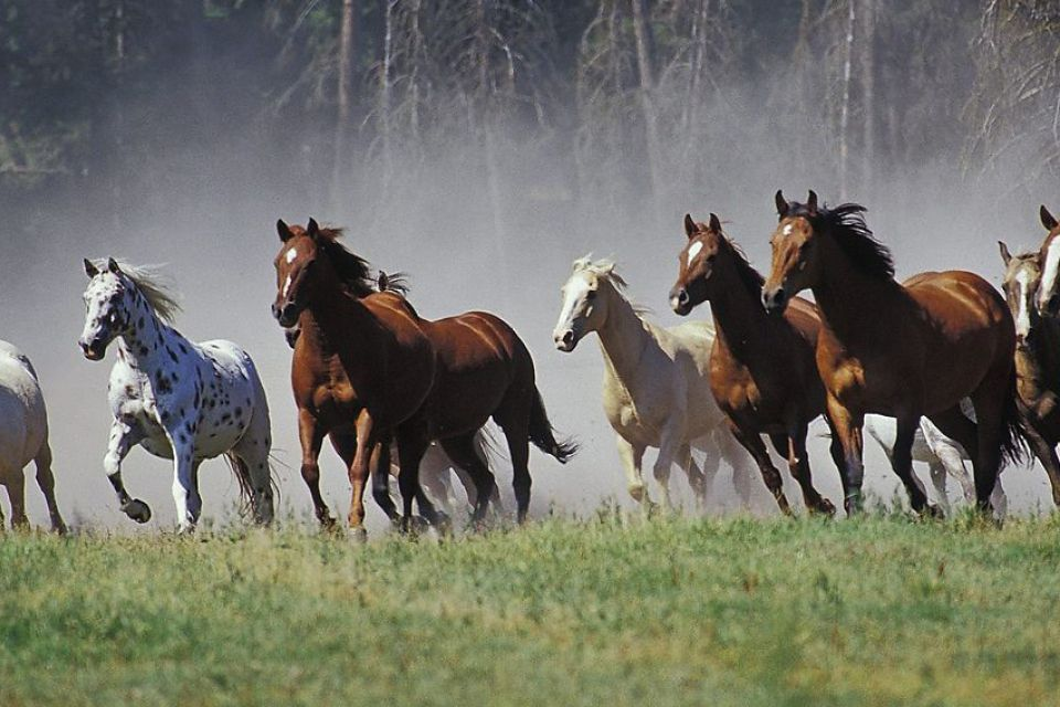 Табун арабских лошадей