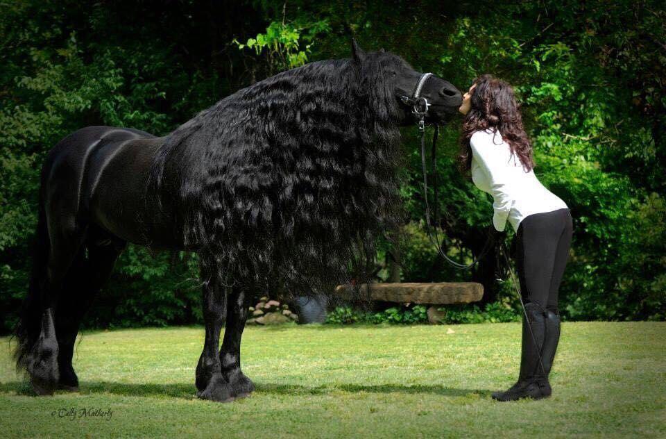 Фризские лошади - энергичные, темпераментные животные