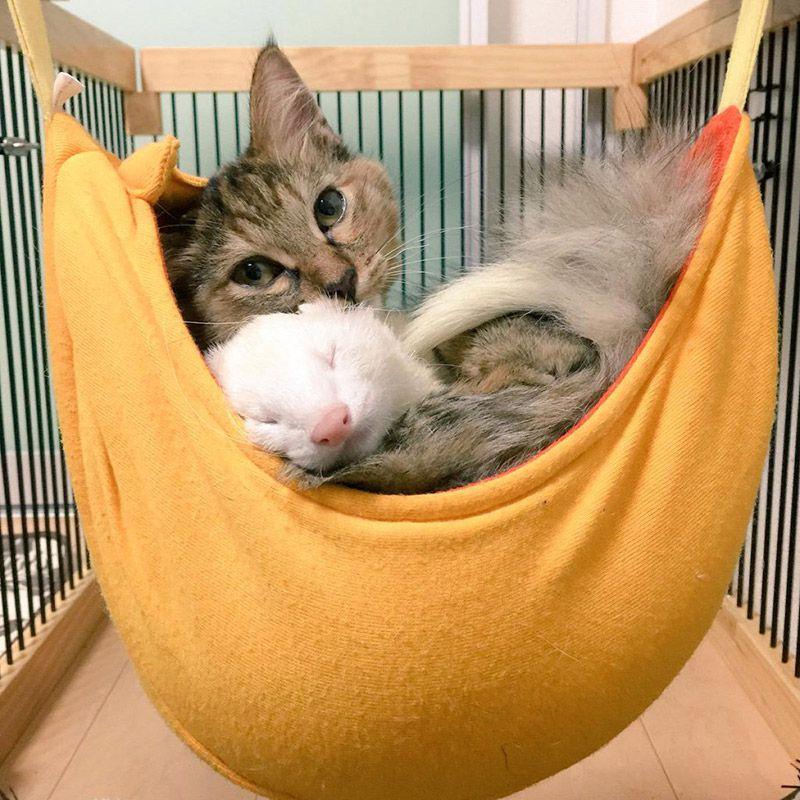 Хорек быстро подружится с кошкой