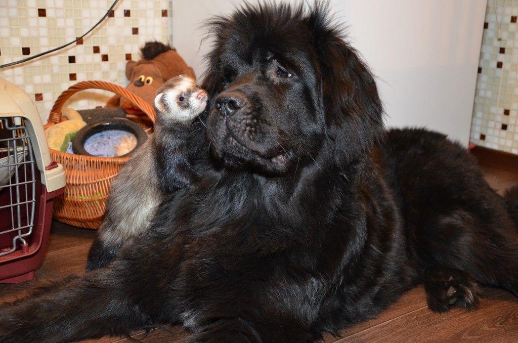 Хорек в домашних условиях с собакой