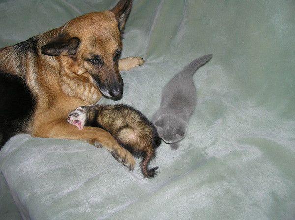 Хорек в компании пса и кота
