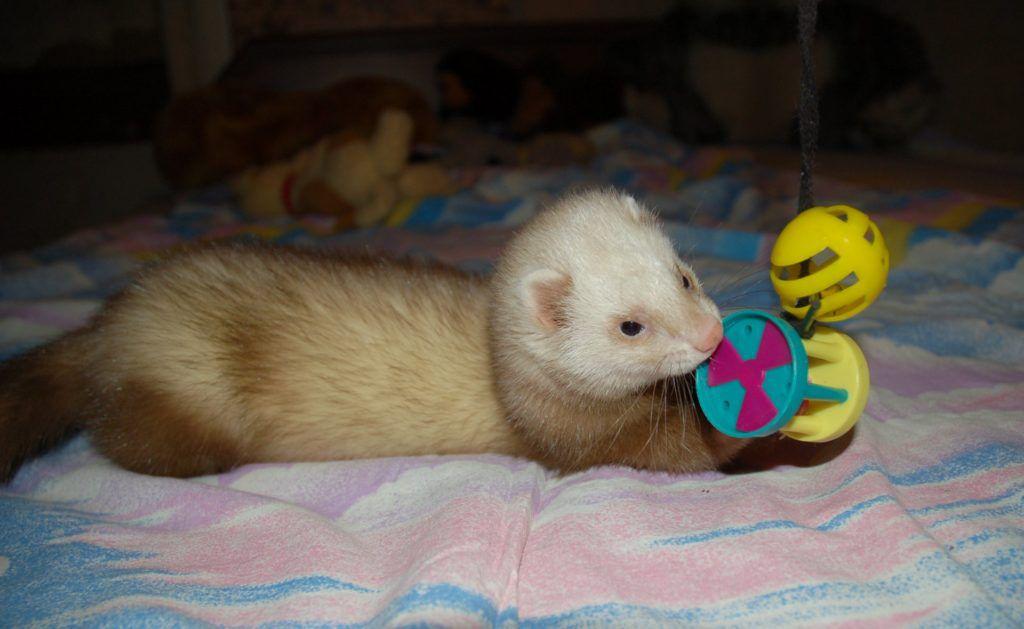 Хорек любит игрушки