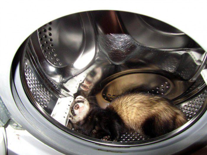 Хорька можно обнаружить в стиральной машине