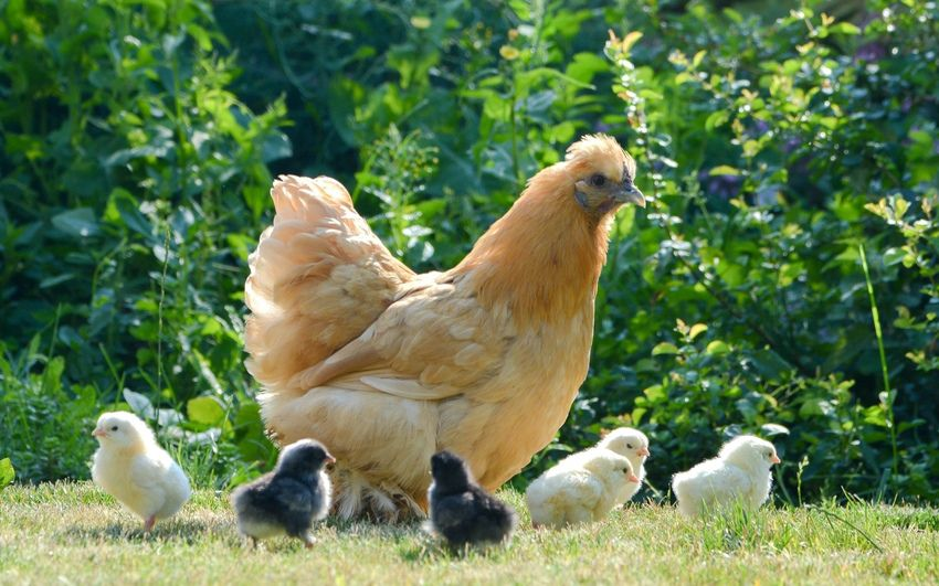 Цыплята могут вырасти здоровыми только при условии сбалансированного питания