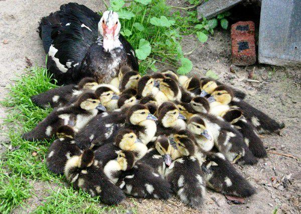 Когда индоутки начинают нести яйца.