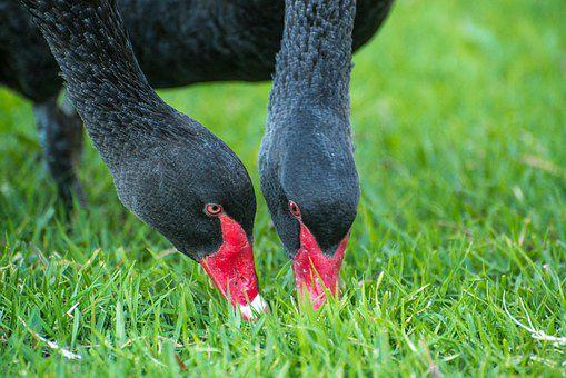 Черные лебеди пополняют витаминный запас с помощью полевых культур