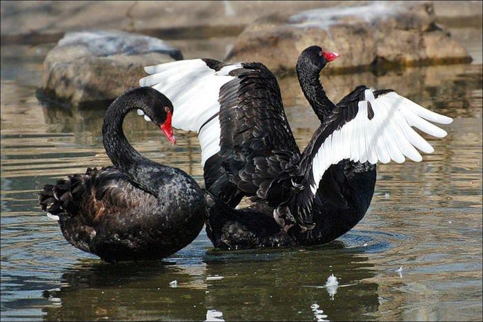 Черные лебеди редко покидают насиженное место