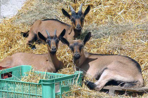 Чешские козы стоят дороже представителей других пород