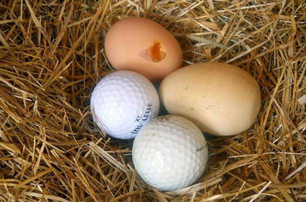 Шары для гольфа в гнезде у кур
