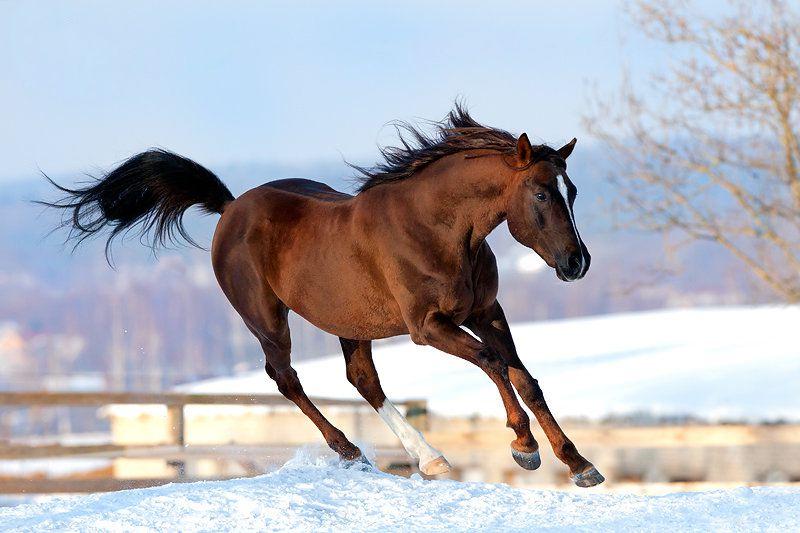 Шея арабских лошадей выгнута дугой