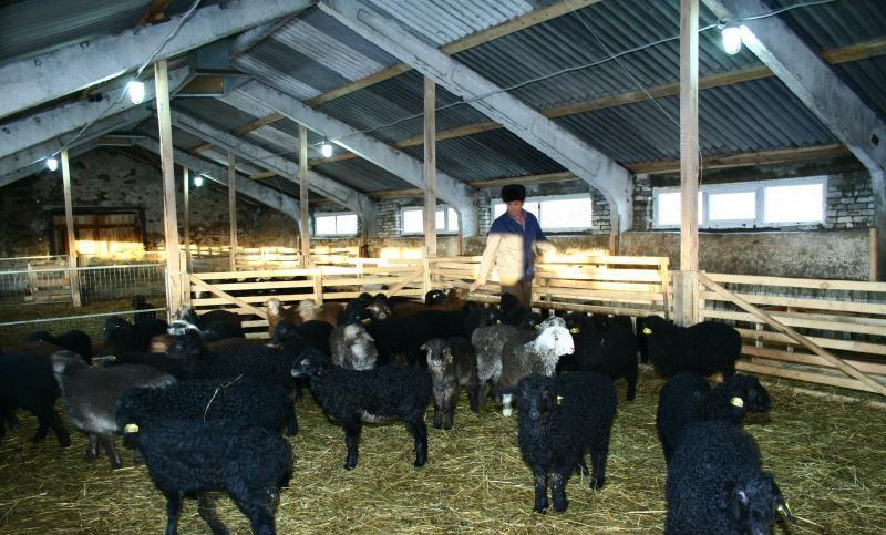 Эдильбаевские овцы в овчарне