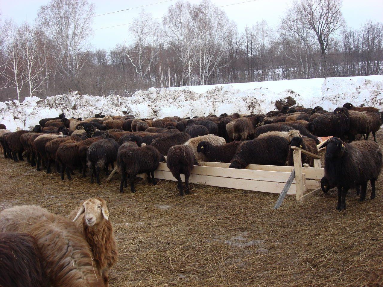 Эдильбаевские овцы неприхотливы