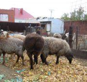 Эдильбаевские овцы с разным окрасом