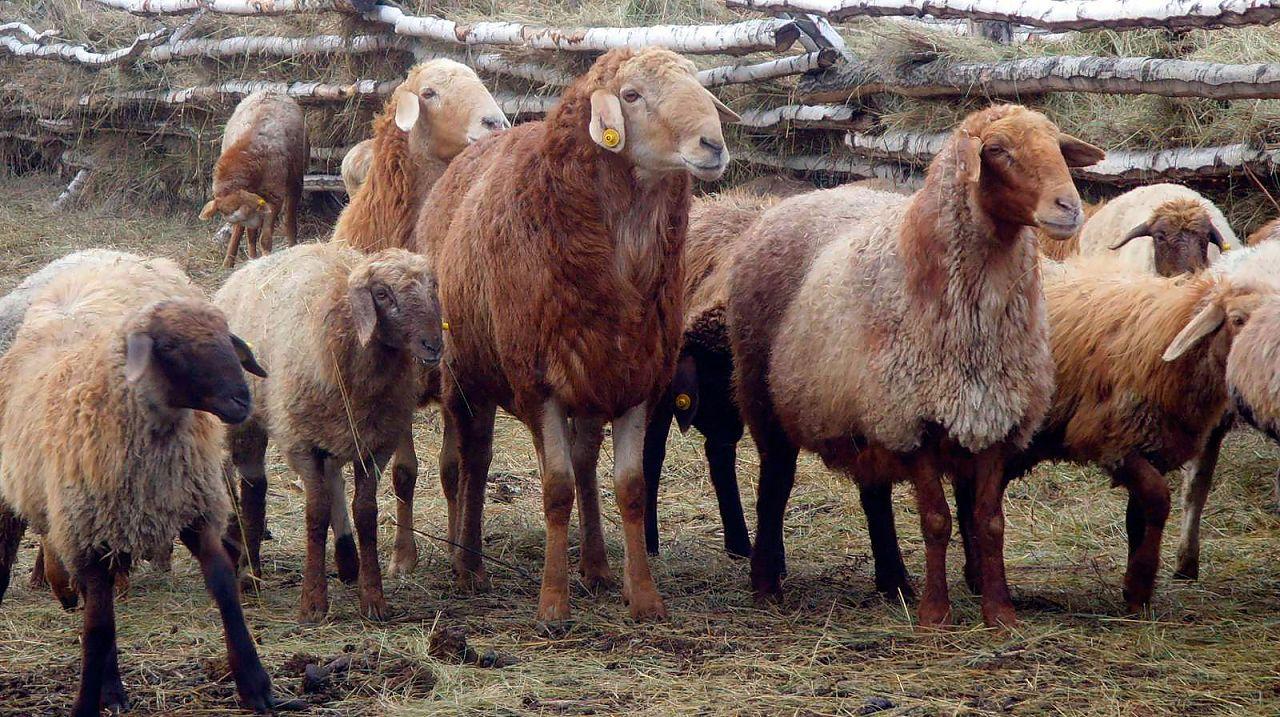 Эдильбаевские овцы
