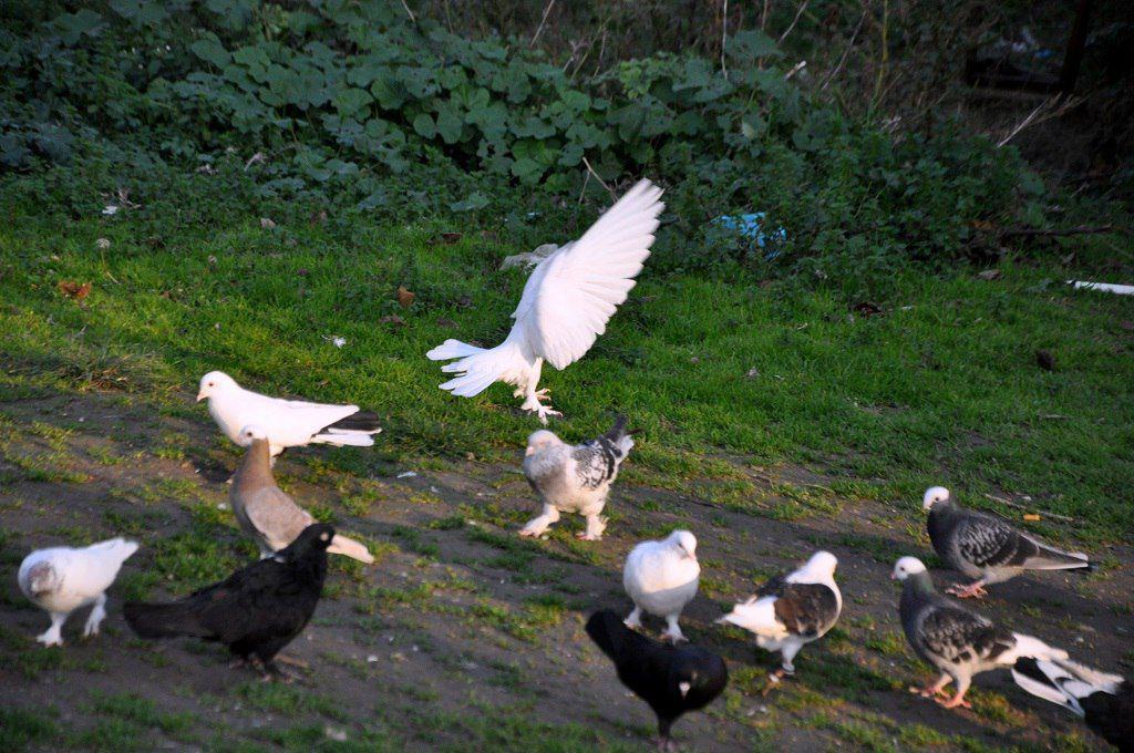 Элитными считаются породы голубей такла молочно-белого цвета