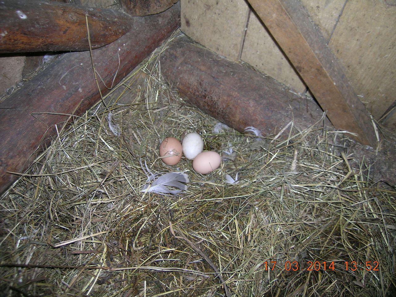 Яичная кладка в гнезде