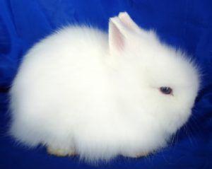 Лисьего кролика легко спутать с ангорским