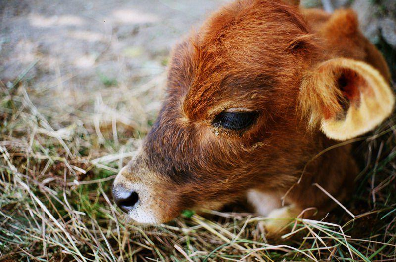 Телята более подвержены заражению, чем взрослые коровы