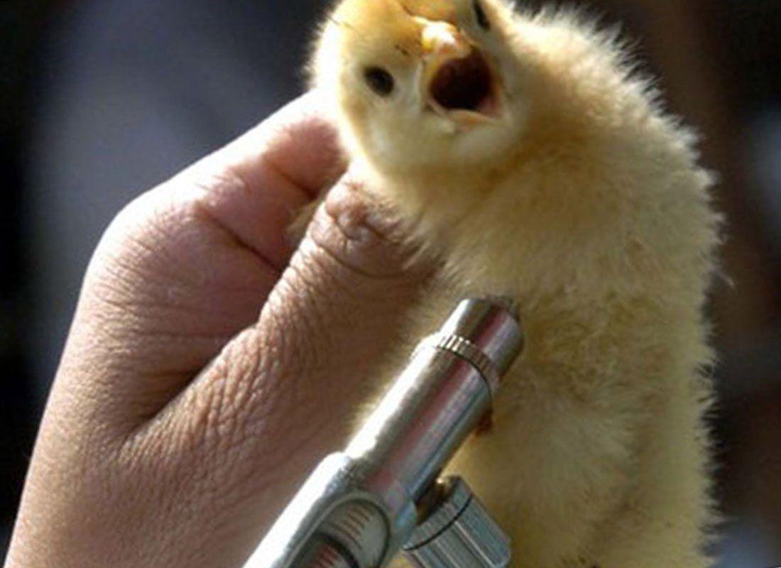 «Гамматоник дают курам после вакцинации