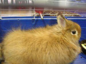 Взрослый лисий кролик