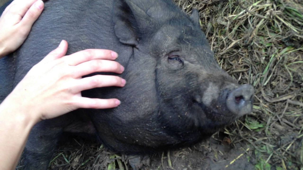 Вьетнамская свинья имеет гладкий нос, и уши как у домашней свиньи