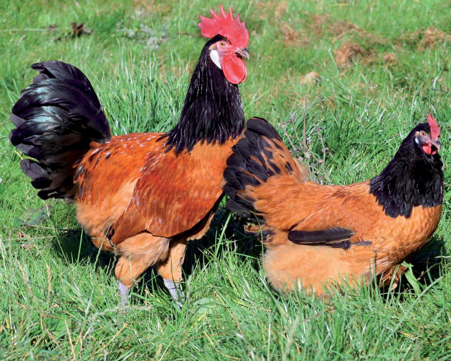 Птицы с дефектами окраски – светлые ноги, не прокрашенные мочки — не должны участвовать в разведении