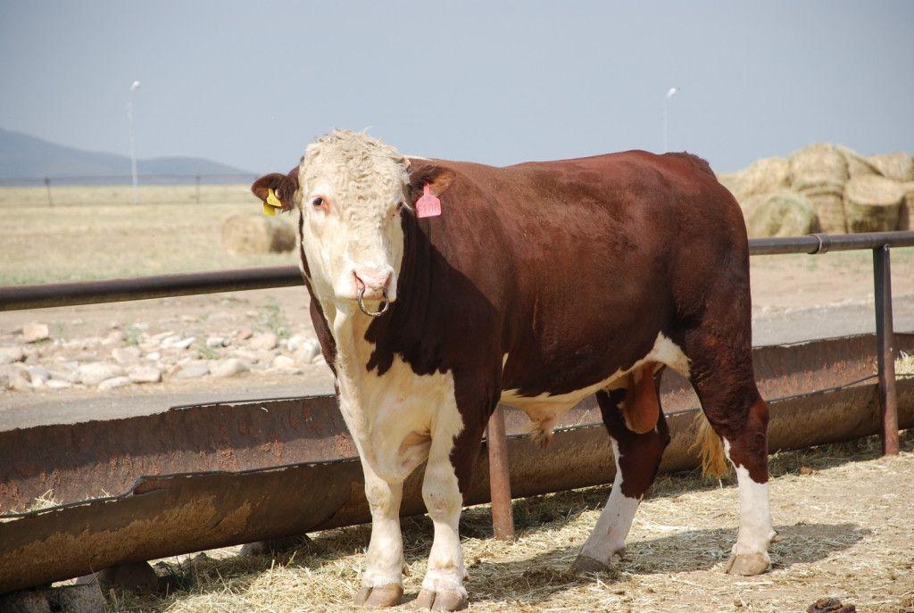 Эта мясная порода с бочкообразным, приземистым, широким туловищем