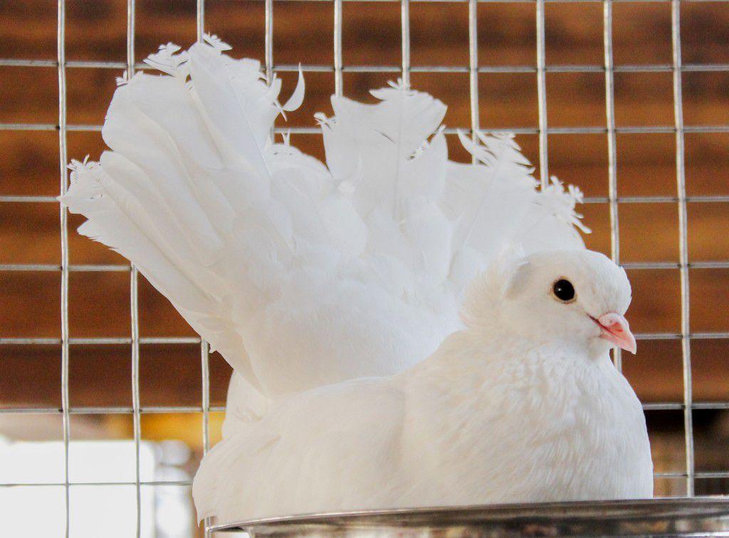 Для спаривания следует использовать чистопородных птиц