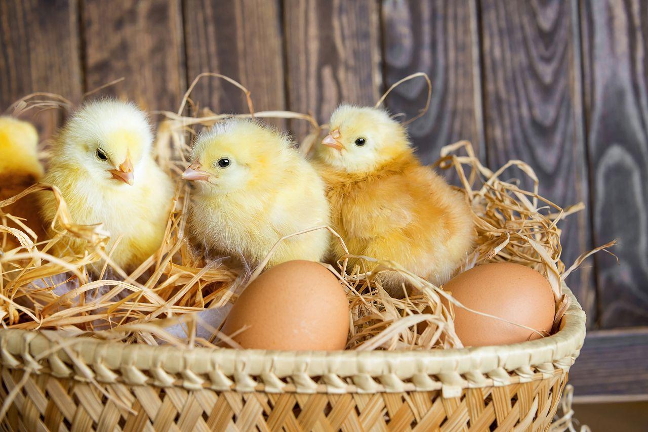 """Прием """"Фелуцена"""" с раннего возраста обеспечит цыплятам правильное развитие желудочно-кишечной системы"""
