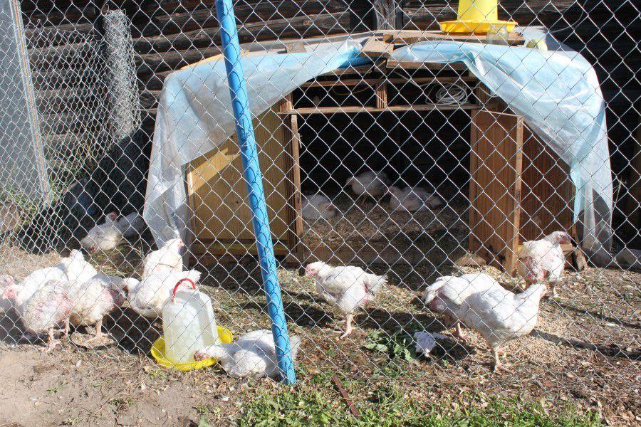 """""""Гамматоник"""" поможет сохранить здоровье всему поголовью домашней птицы"""
