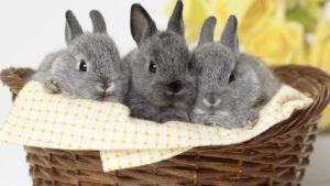Серебристые кролики
