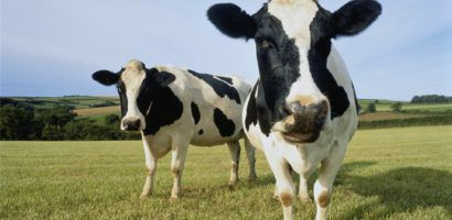 Инфекционный ринотрахеит крупного рогатого скота