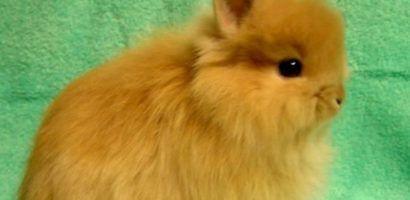 Лисий карликовый кролик