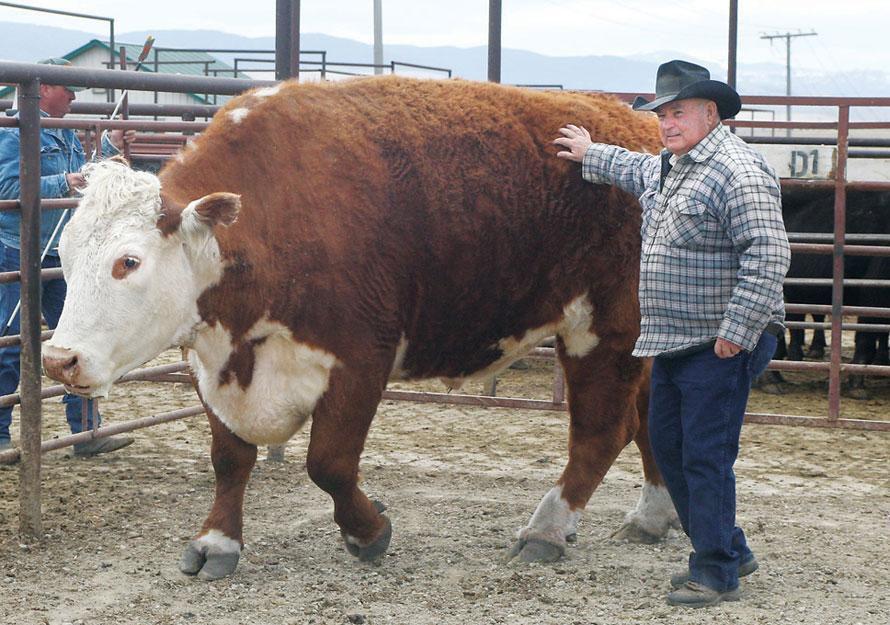 Герефордская порода коров популярна и появилась в Англии
