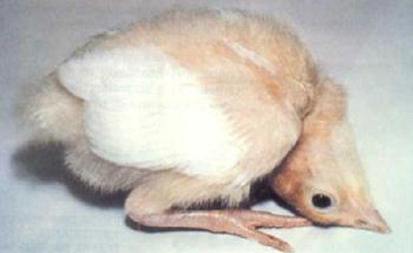 Цыплята больные тифом запрокидывают голову