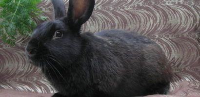 Чистопородный черно-бурый кролик