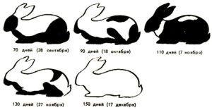 Последовательность линьки молодых черно-бурых кроликов, места линьки указаны черным