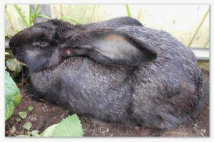 Черно-бурый кролик в период линьки