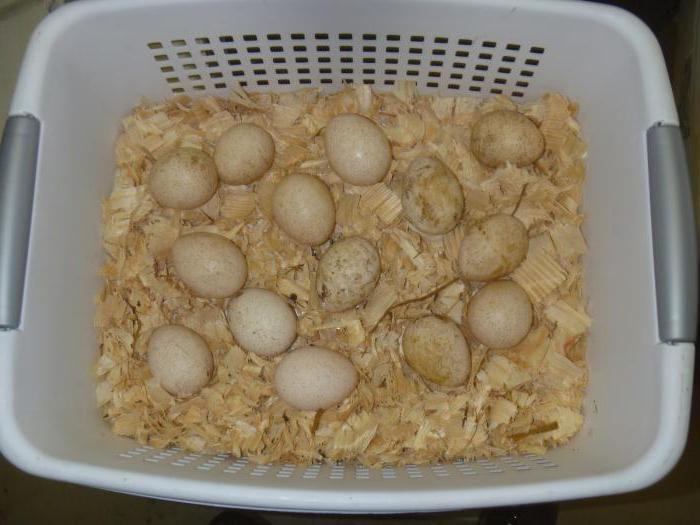 Перед кладкой яйца нужно прогреть