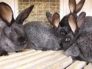 Вуалево-серебристый кролик
