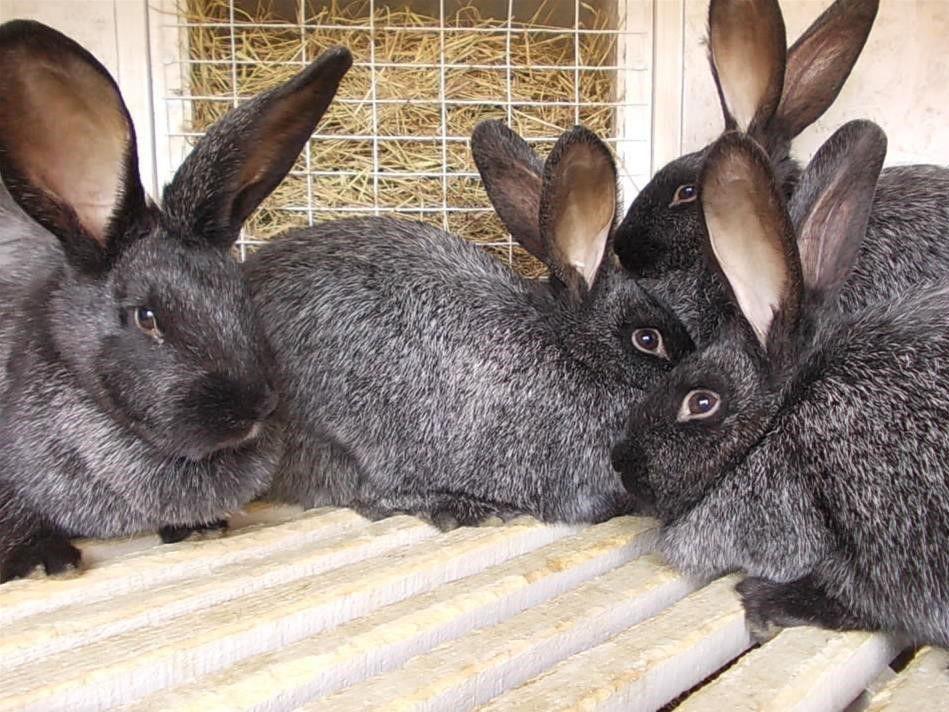 статья кролики черно бурый в один месяца фото некоторых них лобовых