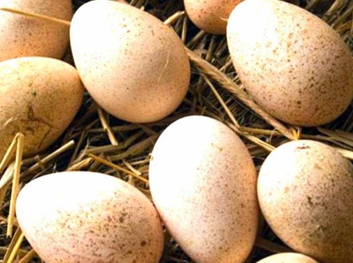 Яйца индюков Бронза 708 имеют вкус с оттенком сливочного сыра