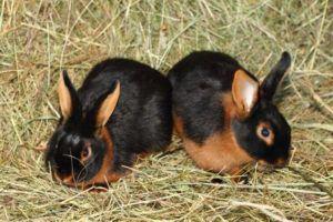 Черно-огненные кролики