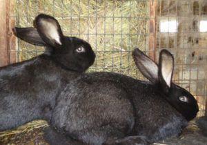 Семимесячные кролики с полностью сформировавшимся мехом