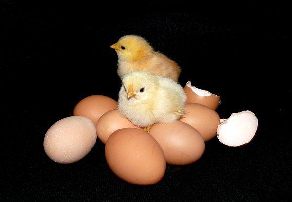 Яйценоскость цветных бройлеров составляет порядка 250-300 яиц за год