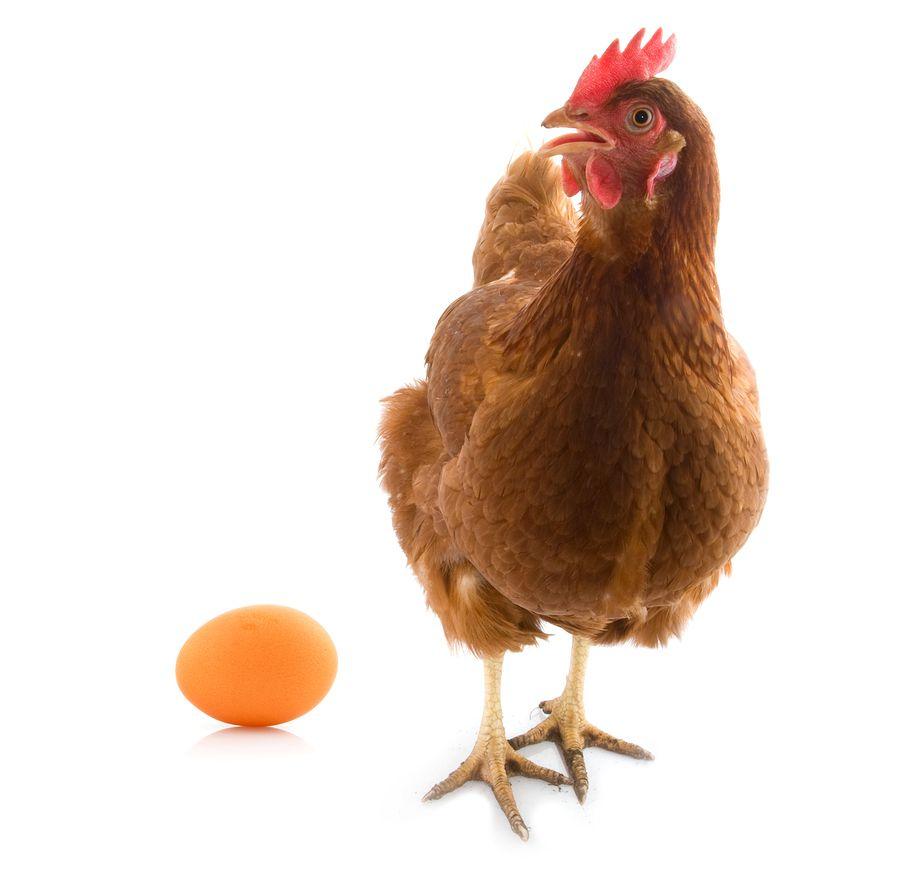К недостаткам породы относится непродолжительный период яйцекладки