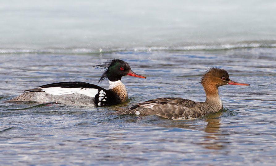 Самец и самка Большого крохаля в воде