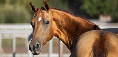 Донская лошадь крупным планом