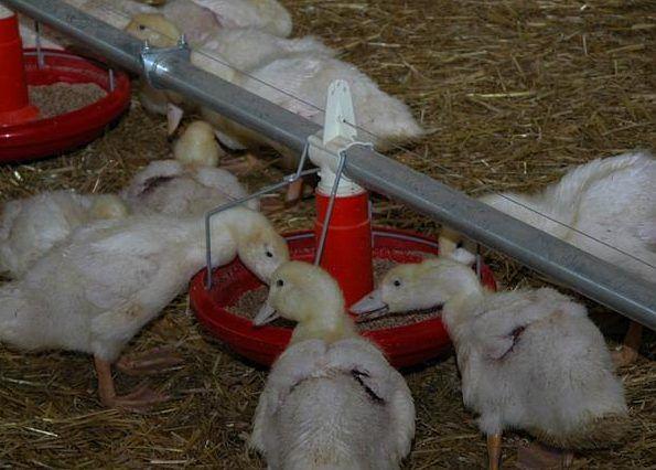 Отдельно от влажного корма уткам доют сухие зерновые смеси с ракушечником и мелом