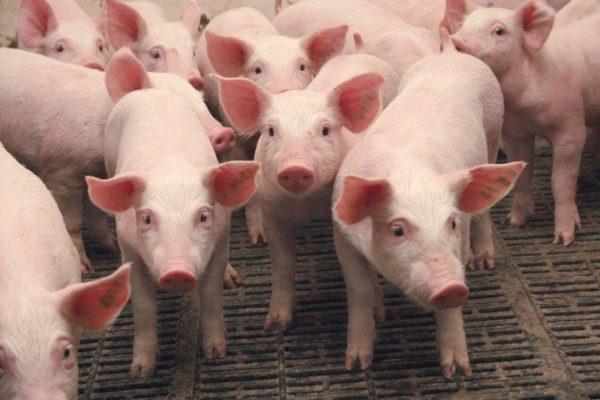 Болезнь Тешена свиней
